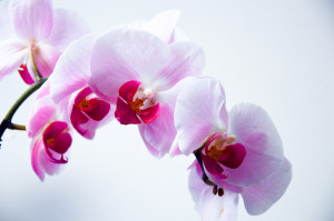 Winter Flowers: Orchid